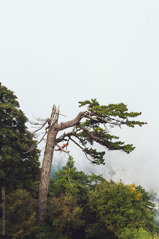 Broken pine in Huashan Mountain  by zheng long for Stocksy United