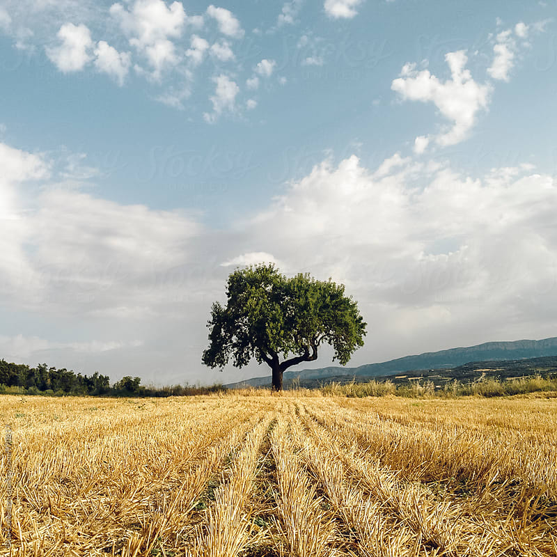 Lone Tree in Open Field by Jordi Rulló for Stocksy United
