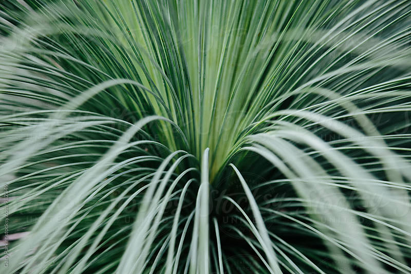 Australian Grass Tree by Gary Parker for Stocksy United