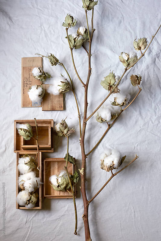 Organic Cotton Balls Growing on Branch by Sara Remington for Stocksy United