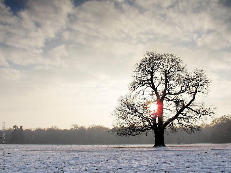 Single oak tree at sunset in winter  by Melanie Kintz for Stocksy United