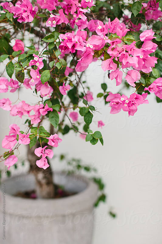 pretty pink flowering tree in pot by Cameron Zegers for Stocksy United
