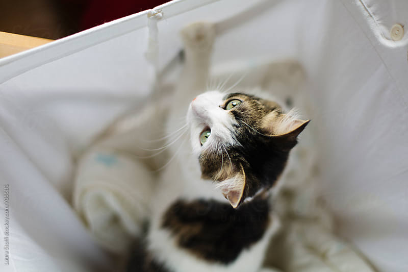 Siberian cat stands on two feet inside laundry cotton basket by Laura Stolfi for Stocksy United