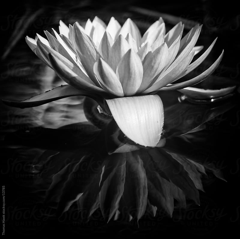 Black and White Water Lilly with Reflection by Thomas Hawk for Stocksy United