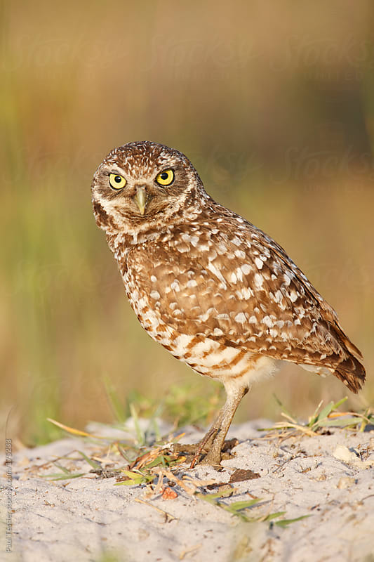 Burrowing Owl by Paul Tessier for Stocksy United
