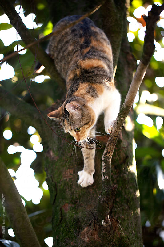 Cat coming down from tree by Laura Stolfi for Stocksy United