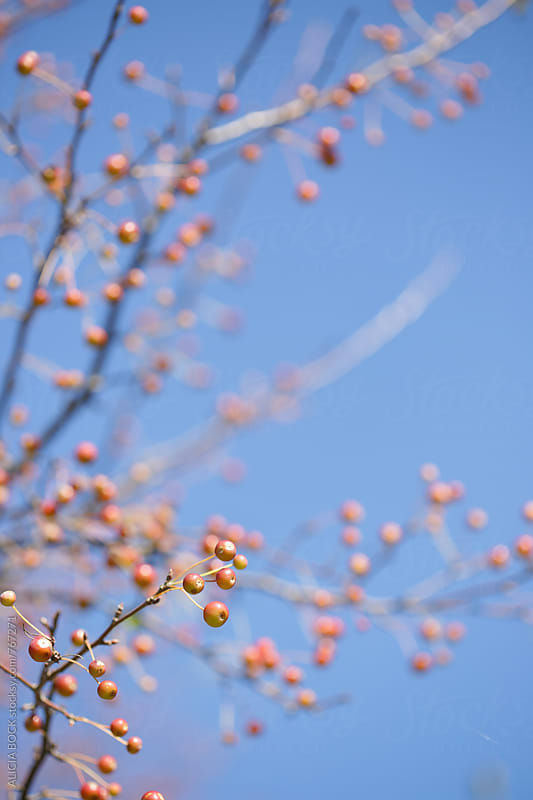 A Tree Filled With Orange Berries On A Clear Autumn Day by ALICIA BOCK for Stocksy United