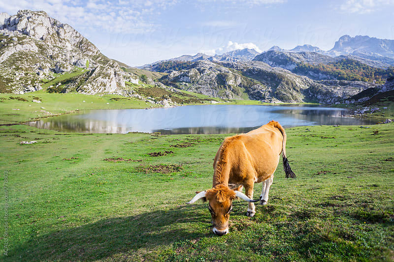 Cows grazing near a lake by ACALU Studio for Stocksy United