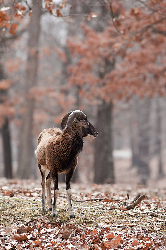 Mouflon Sheep Closeup in the Woods by Brandon Alms for Stocksy United