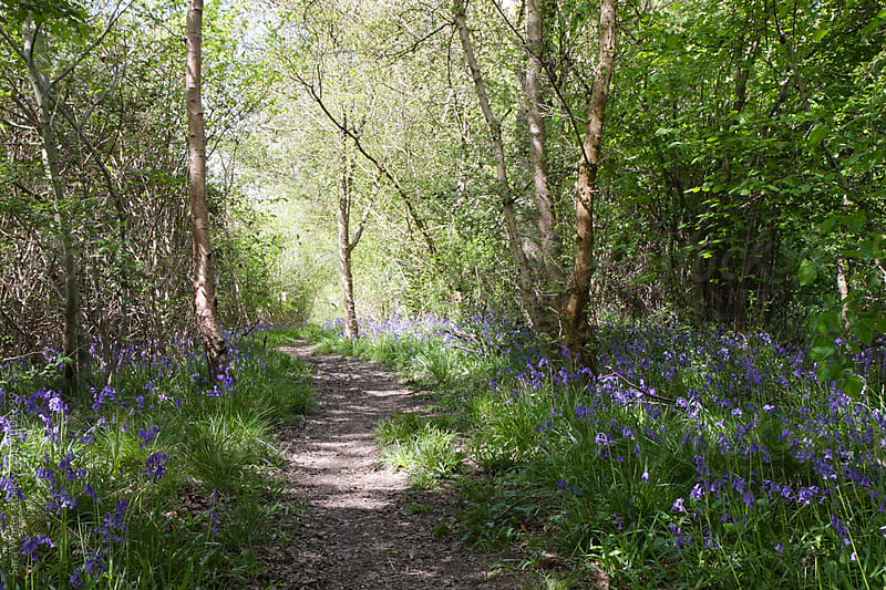 A mystical pathway through bluebells in a wood by Sara Wager for Stocksy United