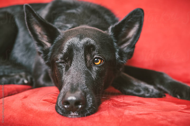 Black Dog Wink on a Red Sofa by Giorgio Magini for Stocksy United