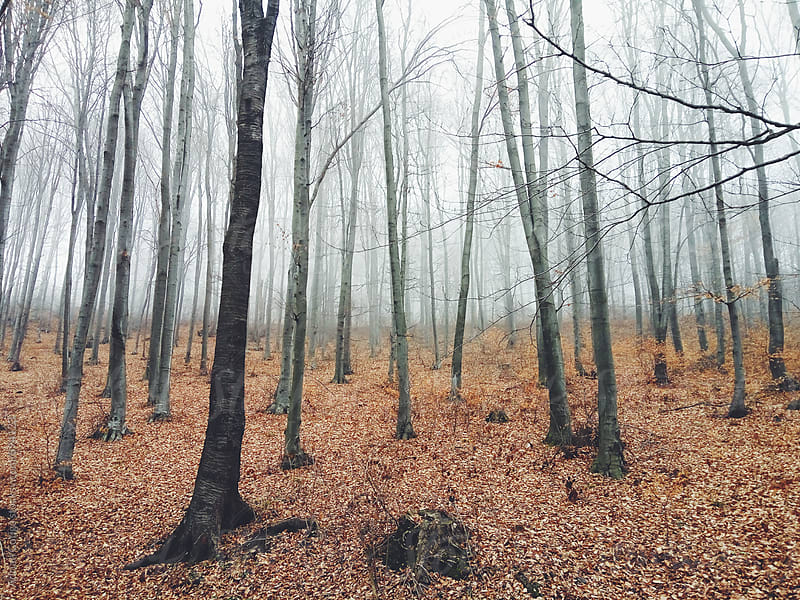 Misty forest; Foggy forest by Adrian Cotiga for Stocksy United