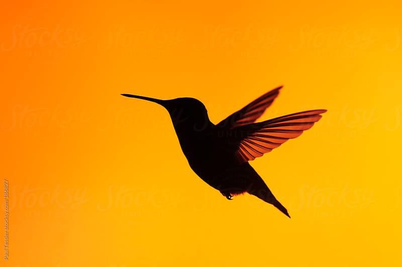 Hummingbird Silhouette by Paul Tessier for Stocksy United