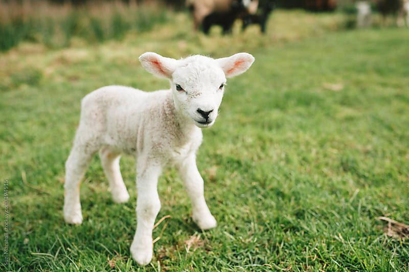 Cute baby lamb standing in a field by Suzi Marshall for Stocksy United
