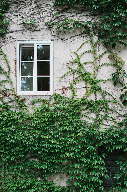 Small white window surrounded by ivy by Amir Kaljikovic for Stocksy United