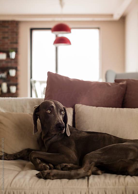 Dog in a sofa by Aleksandar Novoselski for Stocksy United