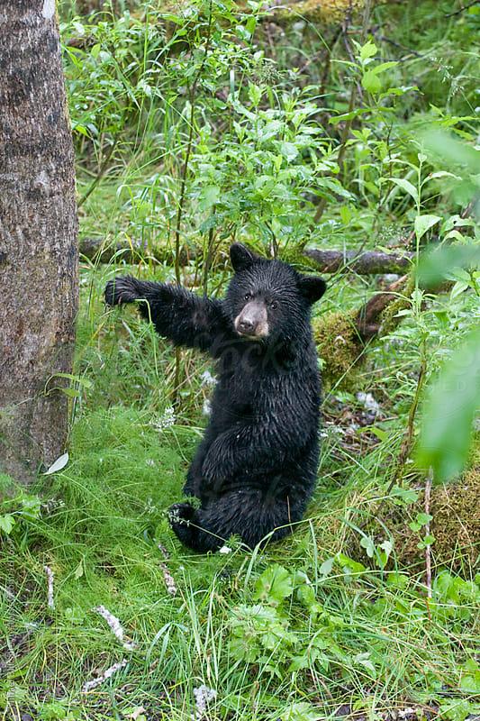 Wild black bear cub playing with a flower by Mihael Blikshteyn for Stocksy United