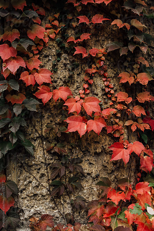 Autumn ivy by Pixel Stories for Stocksy United