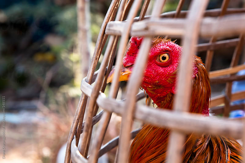 Caged rooster by Diane Durongpisitkul for Stocksy United