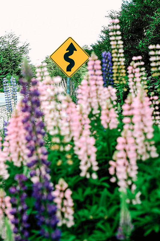 Lupines in Summer by Raymond Forbes LLC for Stocksy United
