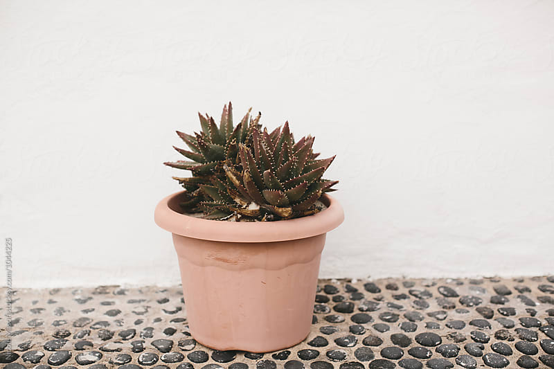 potted succulent plant in front of white wall by Nicole Mason for Stocksy United