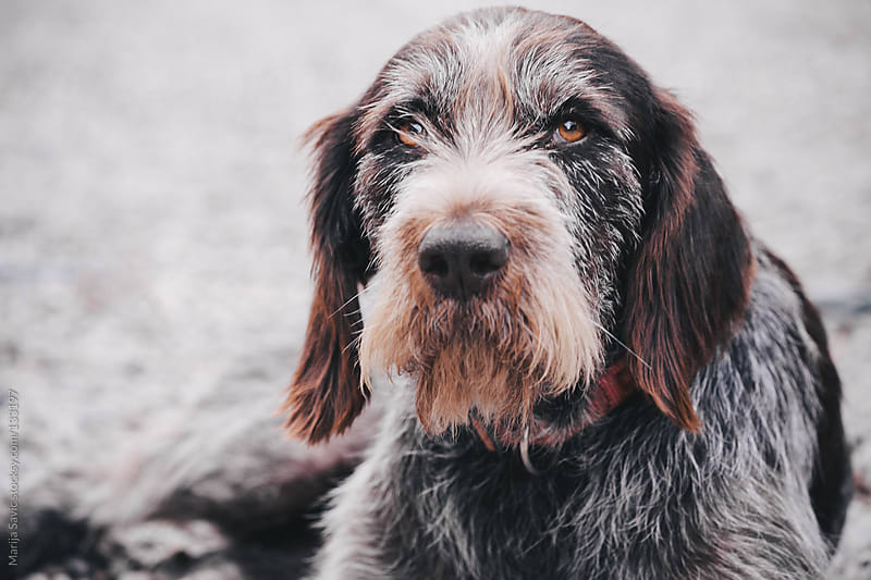 Portrait of a old crossbreed dog.  by Marija Savic for Stocksy United