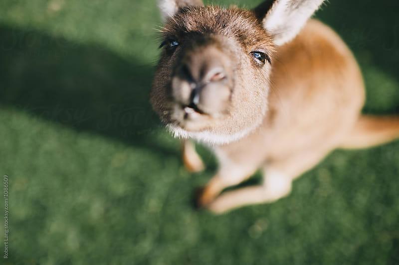 Small kangaroo, Australia by Robert Lang for Stocksy United
