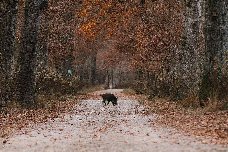 wild boar crossing a path in autumnal forest by Leander Nardin for Stocksy United