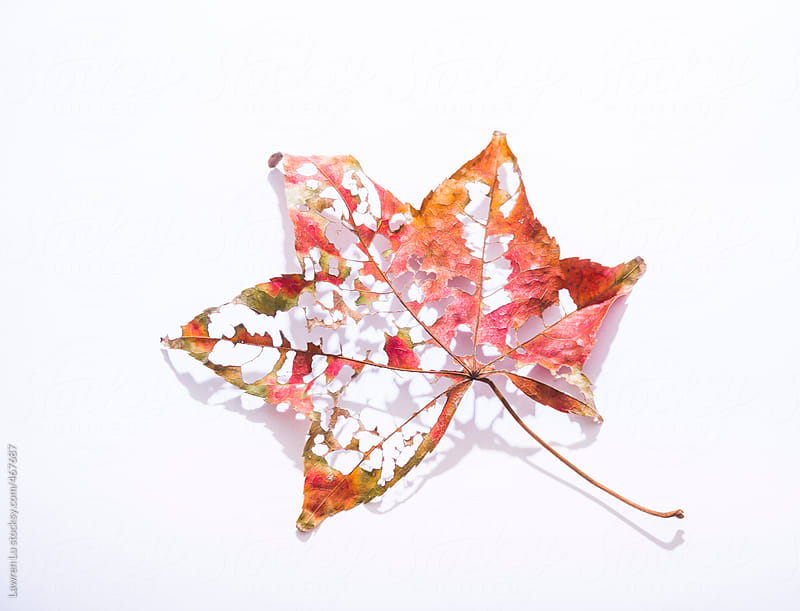 Old decaying red autumn leaf full of holes showing the changing seasons and life cycle of plants, over white with shadow by Lawren Lu for Stocksy United