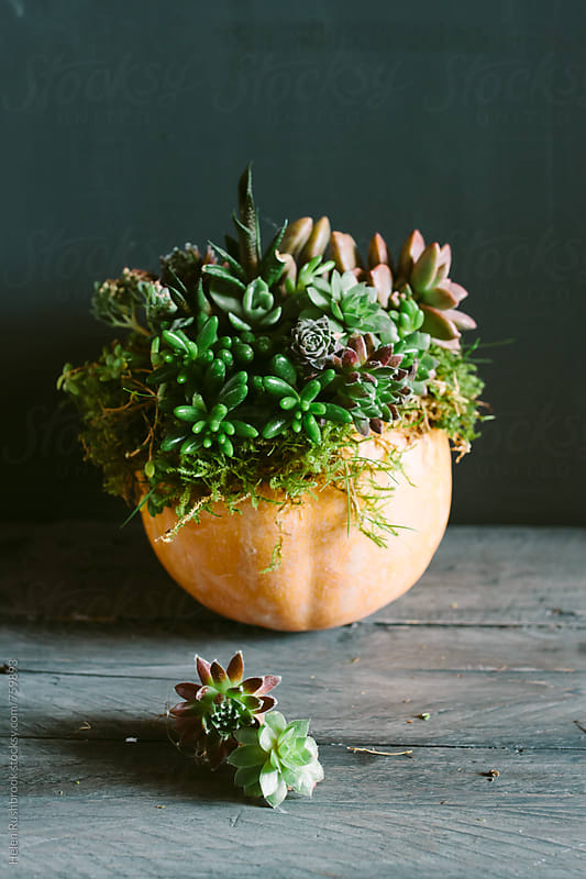 A pumpkin planted with tiny succulent plants. by Helen Rushbrook for Stocksy United