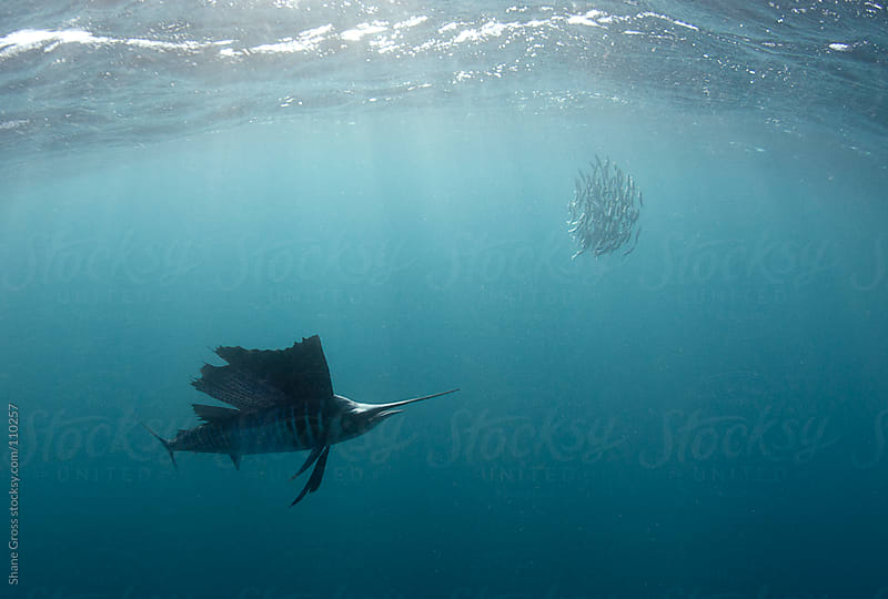 Atlantic sailfish hunting sardines by Shane Gross for Stocksy United