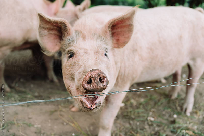 Pig with open mouth shows his teeth by Rebecca Spencer for Stocksy United
