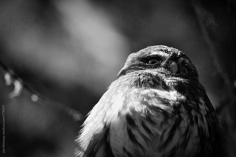 Suspicious owl by Jon Attaway for Stocksy United
