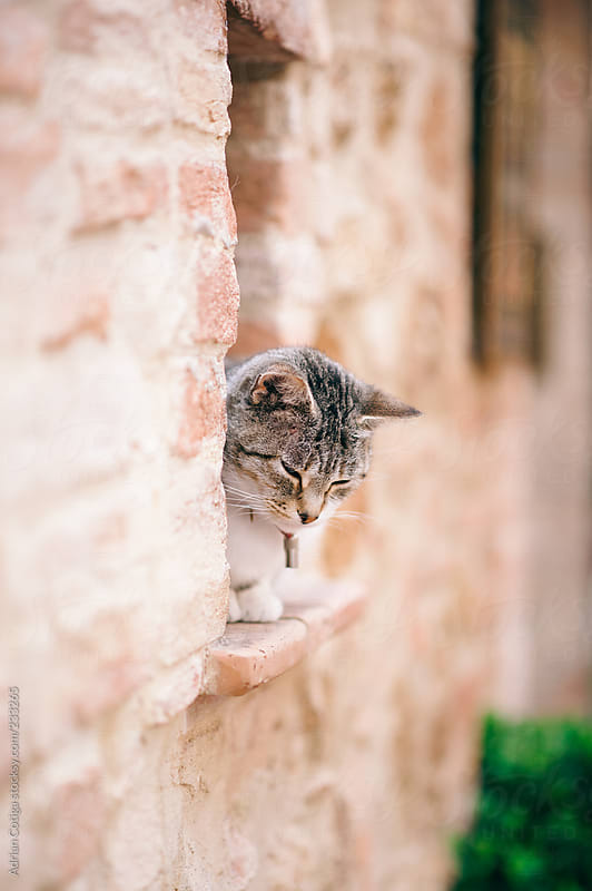 Cat sitting on brick window  by Adrian Cotiga for Stocksy United
