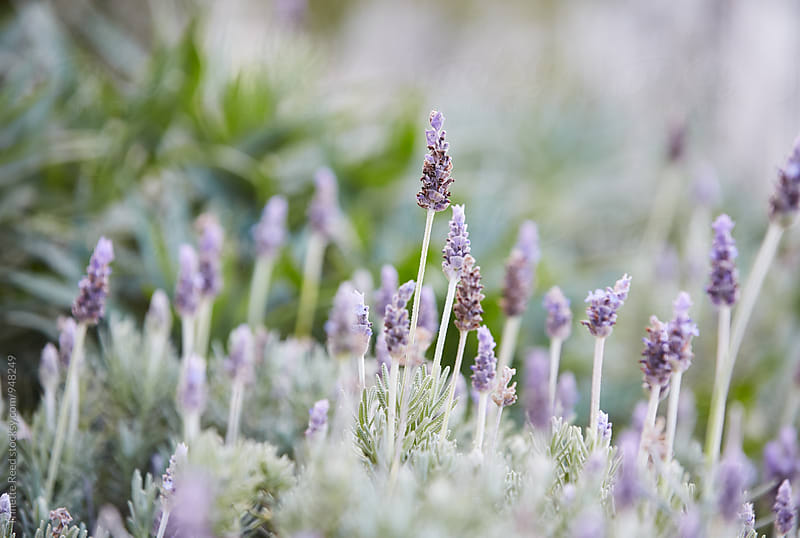 Lavender by Trinette Reed for Stocksy United