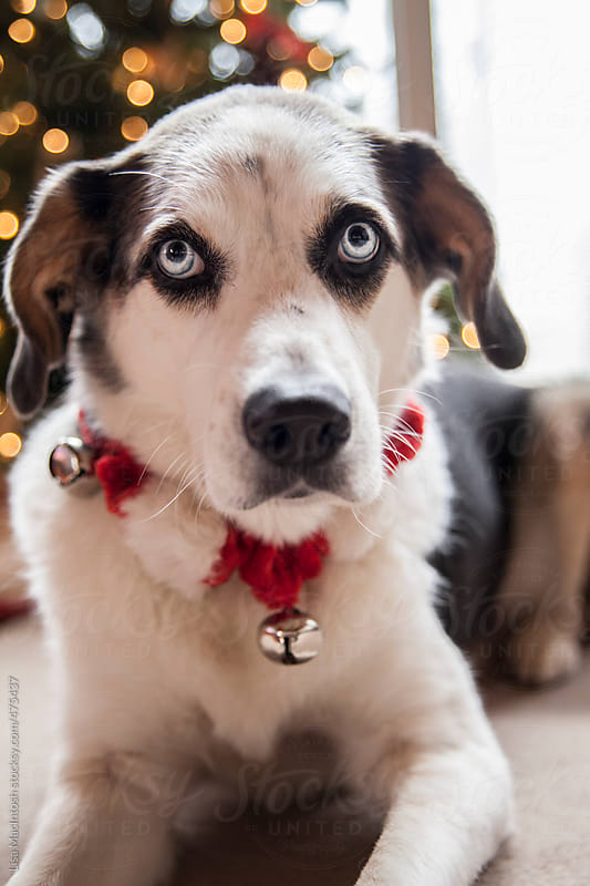 Blue eyed dog wearing jingle bell collar by Lisa MacIntosh for Stocksy United