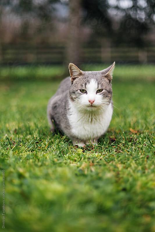 Gray domestic cat in green grass by Dimitrije Tanaskovic for Stocksy United