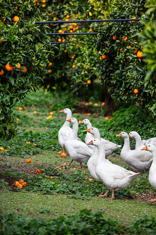 A Group of Ducks in an Orange Grove by Helen Sotiriadis for Stocksy United