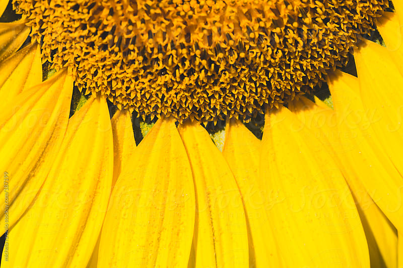 Detail of sunflower by michela ravasio for Stocksy United