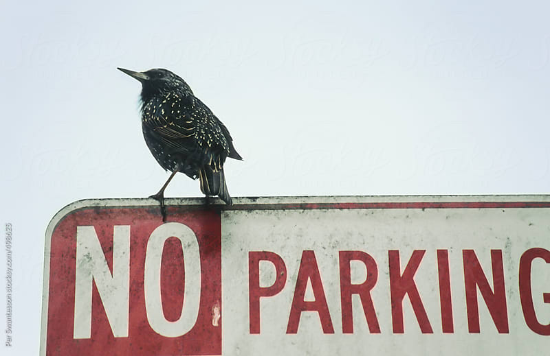 Blackbird parking itself on a No Parking sign by Per Swantesson for Stocksy United
