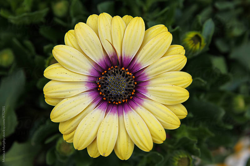 Close up of bright yellow Daisy with purple center by Monica Murphy for Stocksy United