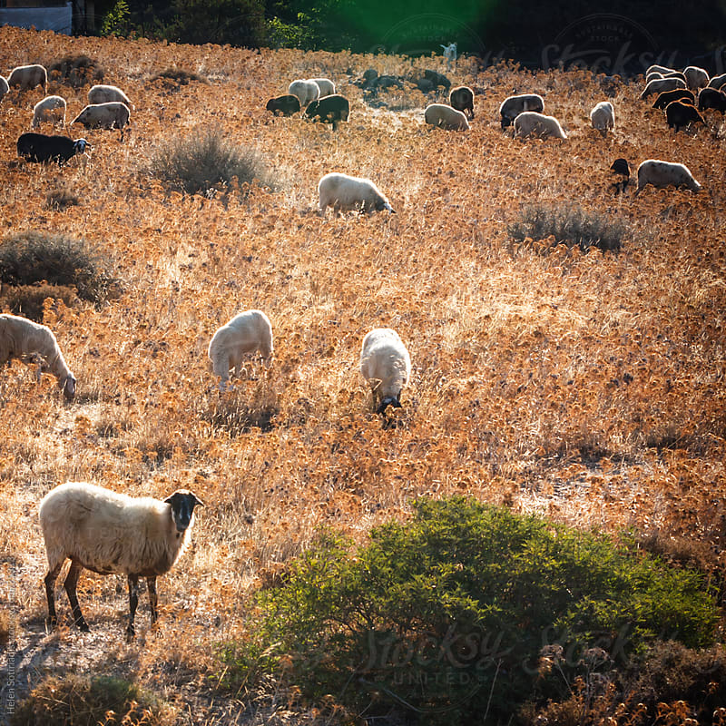 a herd of sheep in a field by Helen Sotiriadis for Stocksy United