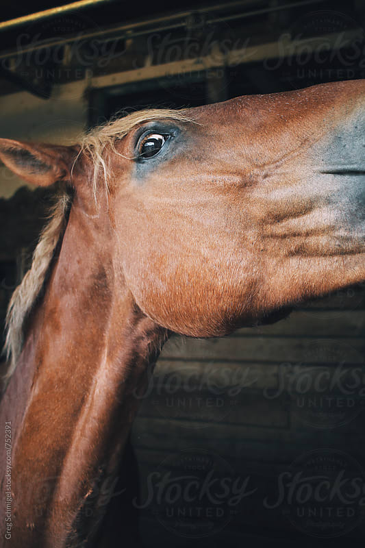 Friendly horses in a equine barn and stable on a farm by Greg Schmigel for Stocksy United