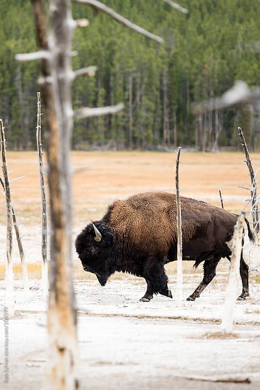 Buffalo Walk by Rob Sylvan for Stocksy United