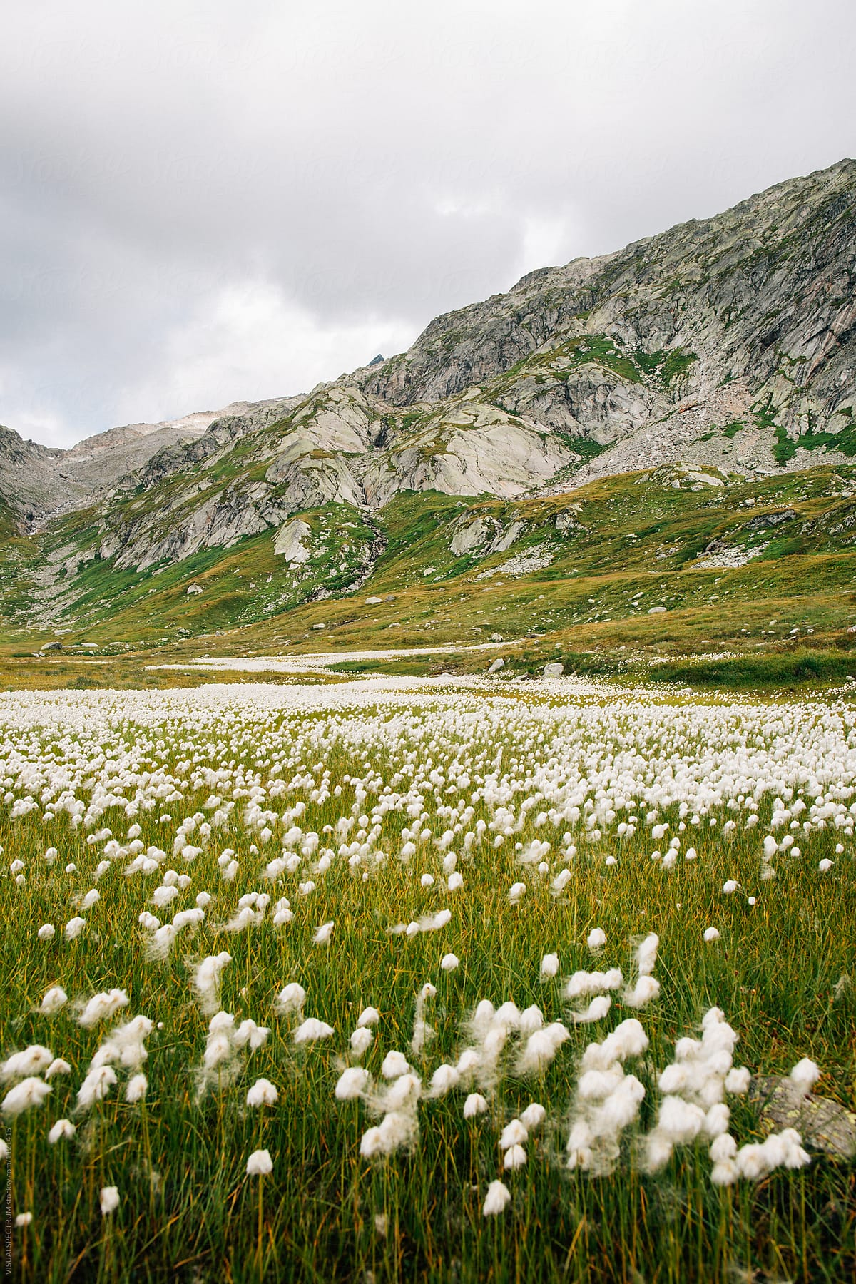 White Alpine Flowers Growing In Greina High Plain Grisons