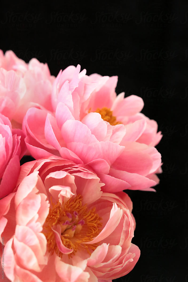 Stunning Pink Peony Flowers Against A Black Background By Alicia