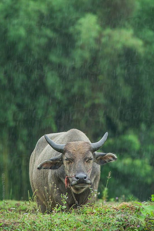 Buffalo Portrait by Chalit Saphaphak for Stocksy United