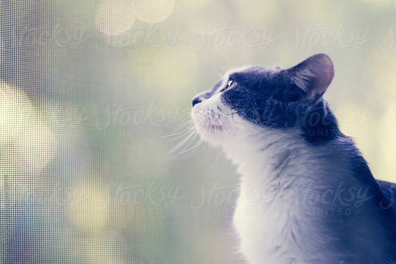 Grey and white cat day dreaming by Kerry Murphy for Stocksy United