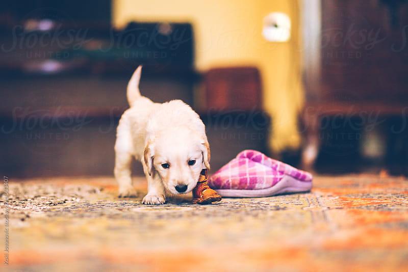 Young labrador retriever puppy by Koki Jovanovic for Stocksy United