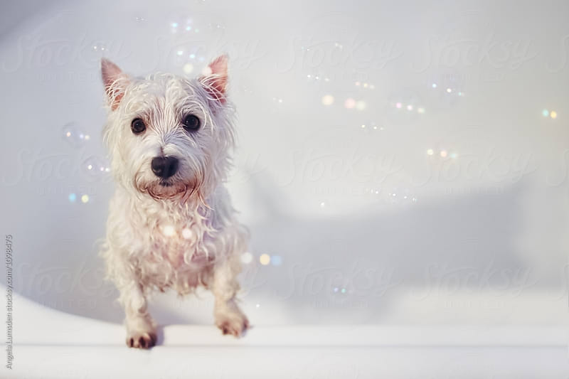 Wet white dog with bubbles asking to get out of the bath by Angela Lumsden for Stocksy United